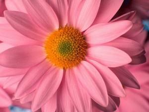 pink-daisy-flower